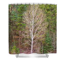 Aspen Tree Forest Road 249 Shower Curtain