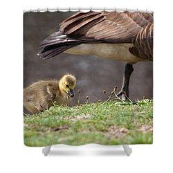 Baby Back Shower Curtain by Karol Livote