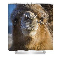 Bactrian Camel Camelus Bactrianus Shower Curtain by David DuChemin