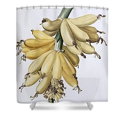 Banana Shower Curtain by Pierre Joseph Redoute