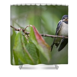 Barn Swallow Hirundo Rustica Fledgling Shower Curtain by Cyril Ruoso