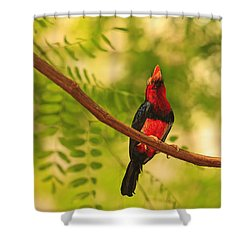 Bearded Barbet Shower Curtain by Stuart Westmorland