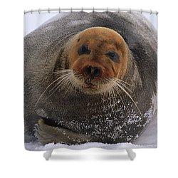 Bearded Seal Erignathus Barbatus Adult Shower Curtain by Flip  Nicklin