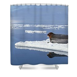 Bearded Seal Resting On Ice Floe Norway Shower Curtain by Flip Nicklin
