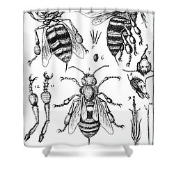 Bee Anatomy Historical Illustration Shower Curtain by SPL and Photo Researchers
