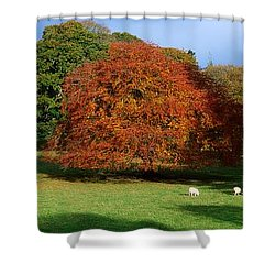 Beech Tree, Glendalough, Co Wicklow Shower Curtain by The Irish Image Collection