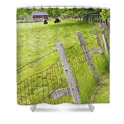 Belted Galloway Cows Farm Rockport Maine Shower Curtain by Keith Webber Jr