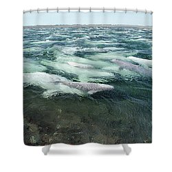Belugas Swimming And Molting Shower Curtain by Flip Nicklin