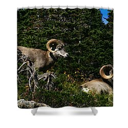 Big Horn Sheep Glacier National Park Shower Curtain