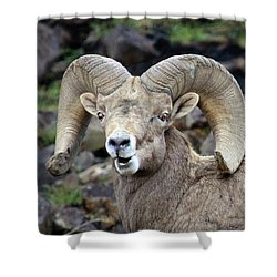Shower Curtain featuring the photograph Bighorn Giant by Steve McKinzie