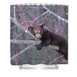 Black Bear Cub On Branch Shower Curtain by Alan and Sandy Carey and Photo Researchers