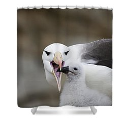 Black Browed Albatross Preparing Shower Curtain by Suzi Eszterhas