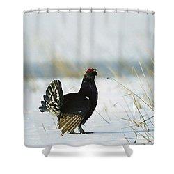 Black Grouse Tetrao Tetrix Shower Curtain by Konrad Wothe