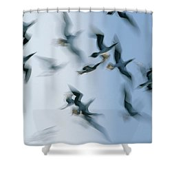 Blue-footed Booby Sula Nebouxii Flock Shower Curtain by Winfried Wisniewski