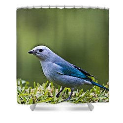 Blue-grey-tanager Shower Curtain by Heiko Koehrer-Wagner