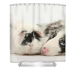 Blue Merle Border Collie With Guinea Pig Shower Curtain by Mark Taylor