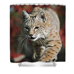 Bobcat Felis Rufus Shower Curtain by David Ponton