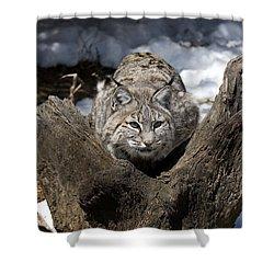 Bobcat  Shower Curtain by Jeff Grabert