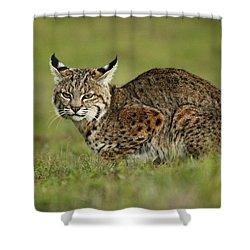 Bobcat Juvenile Santa Cruz California Shower Curtain by Sebastian Kennerknecht