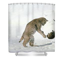 Bobcat Lynx Rufus Hunting Muskrat Shower Curtain by Michael Quinton