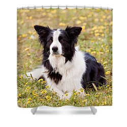 Border Collie In Field Of Yellow Flowers Shower Curtain