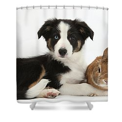 Border Collie Pup And Netherland-cross Shower Curtain by Mark Taylor