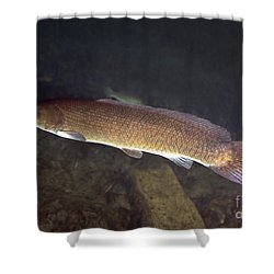 Bowfin Amia Calva Swims The Murky Shower Curtain by Michael Wood