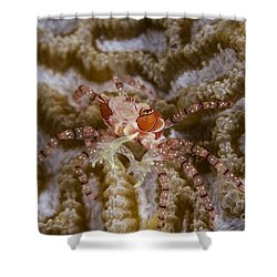 Boxing Crab In Raja Ampat, Indonesia Shower Curtain by Todd Winner