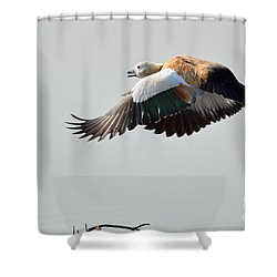 Brahminy Shelduck Shower Curtain by Fotosas Photography
