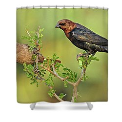 Brown Headed Cowbird Pair Shower Curtain by Dave Mills