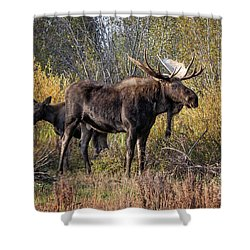 Bull Tolerates Calf Shower Curtain