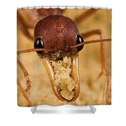 Bulldog Ant Myrmecia Gulosa Worker Shower Curtain by Mark Moffett