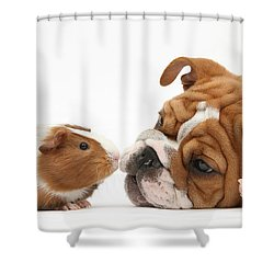 Bulldog Pup Face-to-face With Guinea Pig Shower Curtain by Mark Taylor