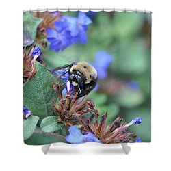 Bumblebee In Plumbago Larpentae Shower Curtain