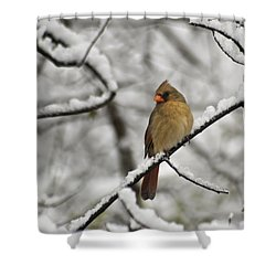 Cardinal Female 3652 Shower Curtain by Michael Peychich