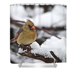 Cardinal Female 3679 Shower Curtain by Michael Peychich