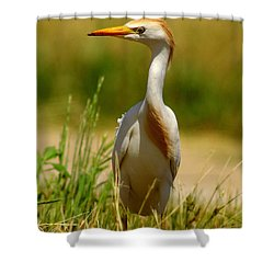 Cattle Egret With Closed Eyelid Shower Curtain by Robert Frederick