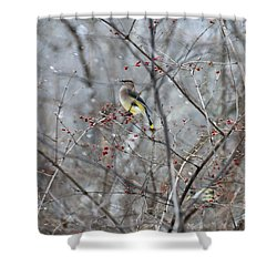 Cedar Wax Wing 3 Shower Curtain by David Arment