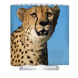 Cheetah Acinonyx Jubatus Portrait Shower Curtain by Ingo Arndt