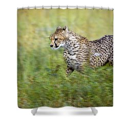 Cheetah Acinonyx Jubatus, Running Shower Curtain by Carson Ganci