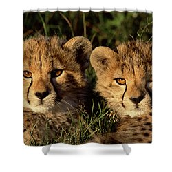Cheetah Acinonyx Jubatus Two Cubs Shower Curtain by Peter Blackwell
