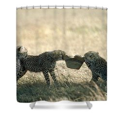 Cheetah Cubs Play With Hat Shower Curtain by Greg Dimijian