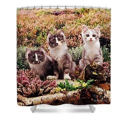 Chinchilla-cross Kittens Shower Curtain by Jane Burton