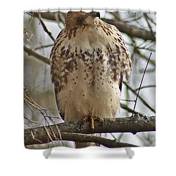 Cooper's Hawk 1 Shower Curtain by Joe Faherty