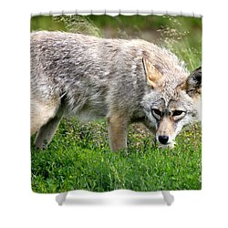 Shower Curtain featuring the photograph Coyote On The Prowl by Kathy  White