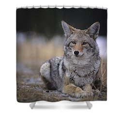 Coyote Resting In Winter Grass, Snowing Shower Curtain by Leanna Rathkelly