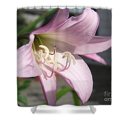 Shower Curtain featuring the photograph Crinum Lily Named Powellii by J McCombie