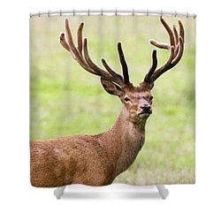 Deer With Antlers, Harrogate Shower Curtain by John Short