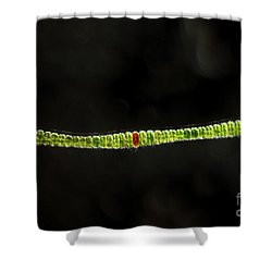Desmidium Sp. Green Algae, Lm Shower Curtain by Ted Kinsman