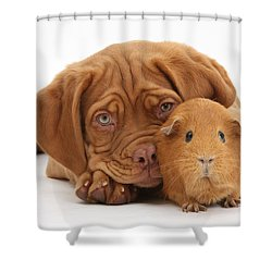 Dogue De Bordeaux Puppy With Red Guinea Shower Curtain by Mark Taylor
